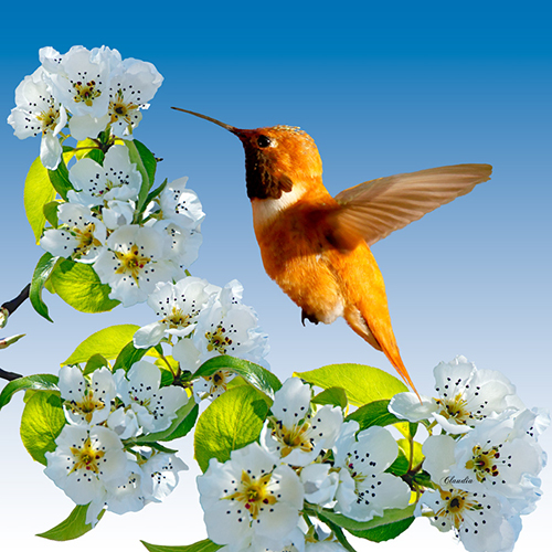 Claudia Harlow, Rufous Hummingbird with Pear Blossoms, photography, 14x14, $65