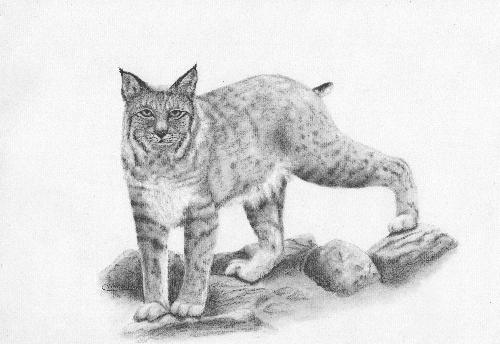 Cristolin Oswald, Bobcat on Rocks, charcoal, 11x14, $120