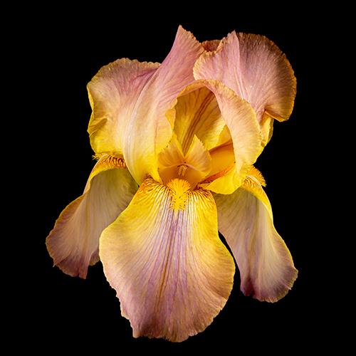 """Allan Rowell, """"Golden Light"""" Iris, photography, 24x24, $400"""